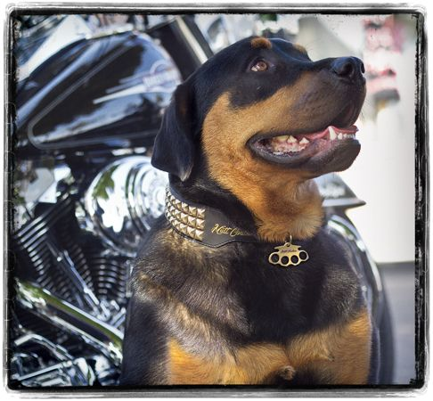 Your dog is just as unique as anyone-- show the world with Mutt Couture's line of collars, leashes, and (coming soon) dog tags.  www.muttcoutureinc.com