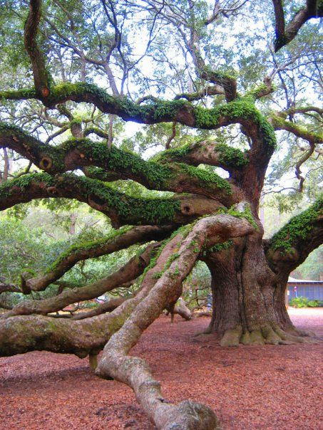1500 yr old Angel Oak in Charleston, SC