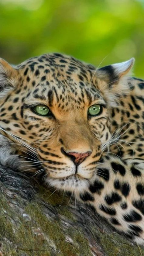 Stunning big cat!