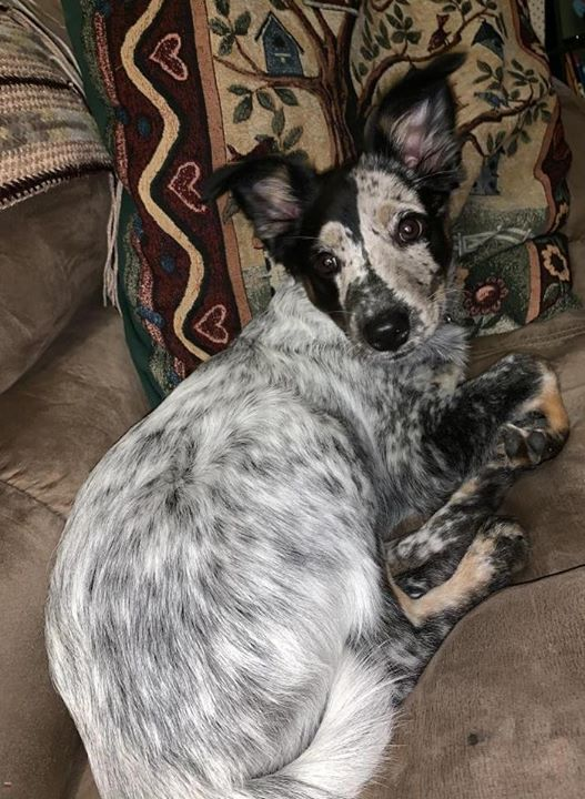 Lost Dog Taylors Falls Blue Heeler Australian Shepherd Mix Female Date Lost 11 14 2019 Dog S Name Sadie Breed Of Dog Blue Dogs Losing A Dog Dog Ages