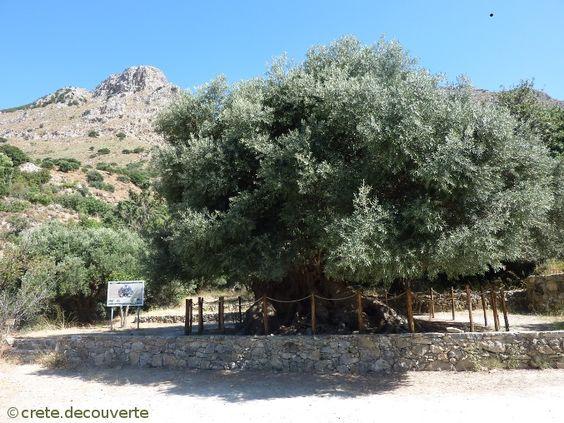 l 39 olivier de kavousi ierapetra lassithi en cr te une branche de cet olivier a t pr lev e. Black Bedroom Furniture Sets. Home Design Ideas