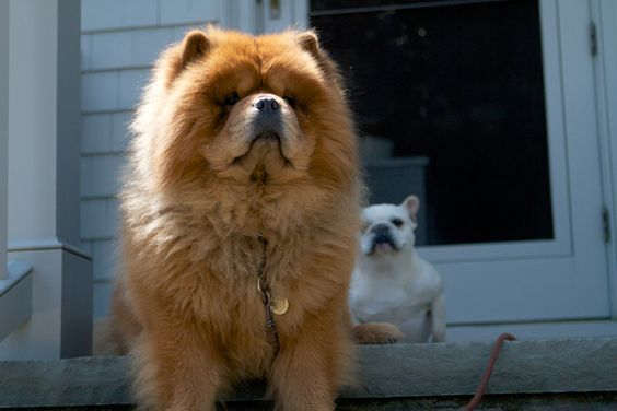 looks like bando...GK protects his little sister Sharkey!: Chaw Chow, Dogs Cats, Animal Friends, Box,  Chow Chow, Animal House, Animal Animal, Animal Dogs
