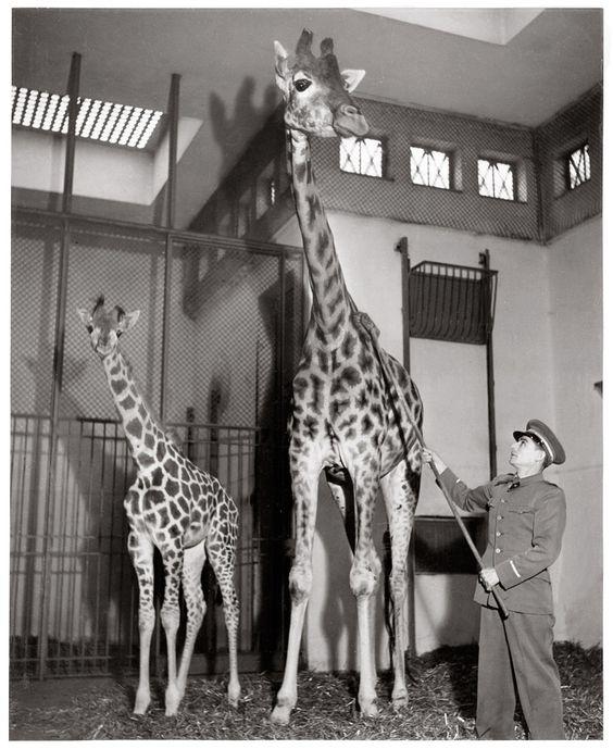 Les girafes du Parc zoologique du Bois de Vincennes, 1943 by Robert Doisneau