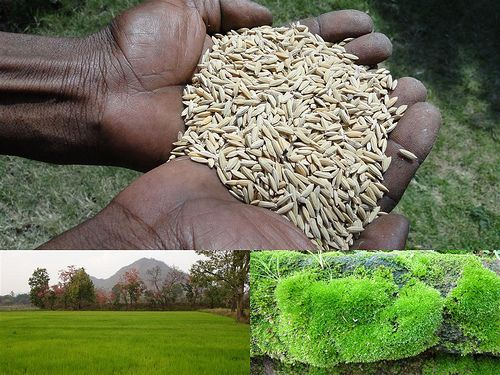Medicinal Rice Formulations for Diabetes Complications and Heart Diseases (TH Group-56) from Pankaj Oudhia's Medicinal Plant Database
