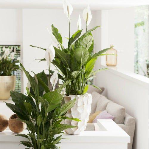 lirio da paz planta dentro de casa