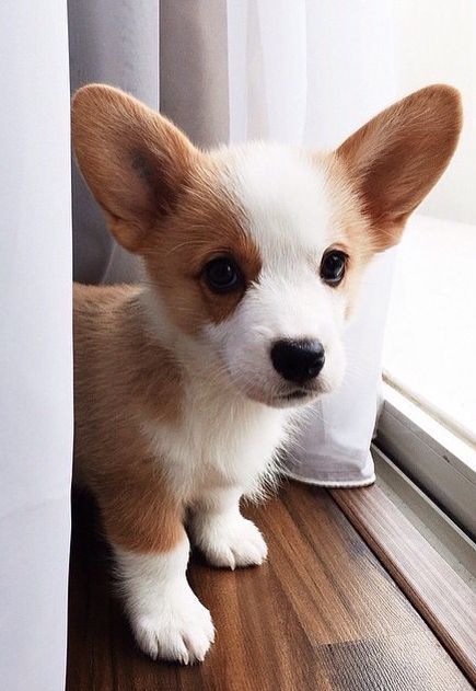 Corgi Puppy! #Corgis #puppies #dogs: