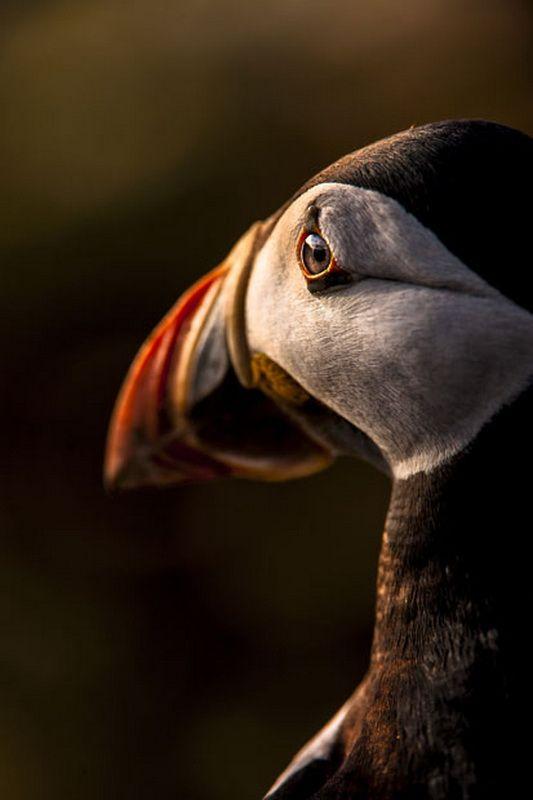 Unsure Puffin, taken at Skomer Island, Wales
