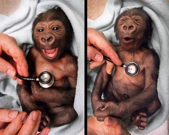 A baby gorilla at the Melbourne Zoo, got a checkup at the hospital and showed surprise at the coldness of the stethoscope!