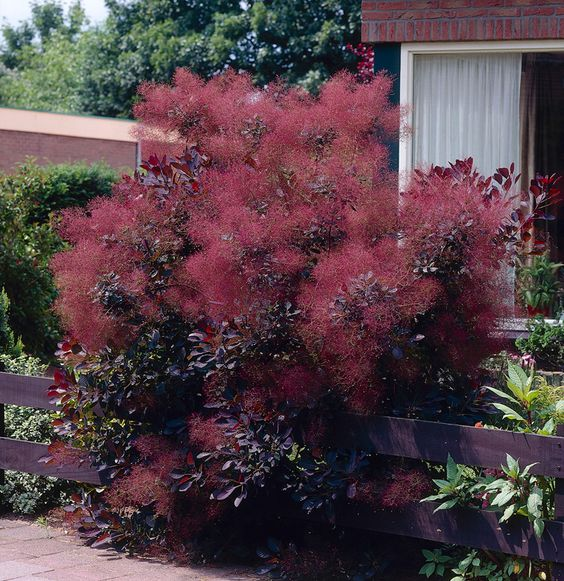 Smoke bushes always earn star status in fall and 'Old Fashioned' (Cotinus coggygria) seen in the foreground is no exception. Description from pinterest.com. I searched for this on bing.com/images