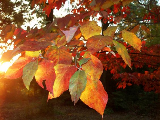 dogwood leaves in the morning sun