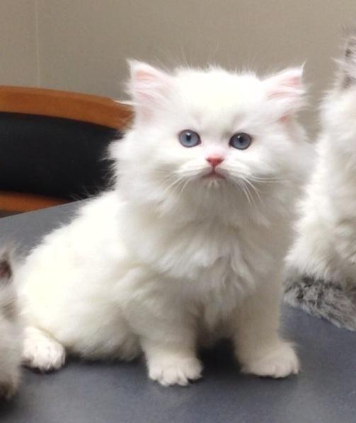 Himalayan Cats For Sale Waterbury Ct Persian Cats For Sale Himalayan Cat Himalayan Cat For Sale