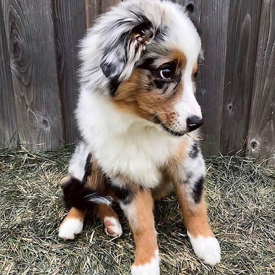 Australian Shepherd Puppies Pictures And Facts Australian