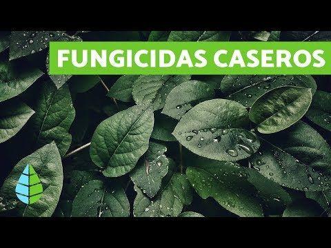 Quieres Preparar Un Fungicida Casero Y Natural Para Eliminar Hongos En Tus Plantas E Fungicidas Caseros Jardinería De Hortalizas En Macetas Plantas De Tomate
