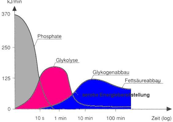 Energiegewinnung - ATP