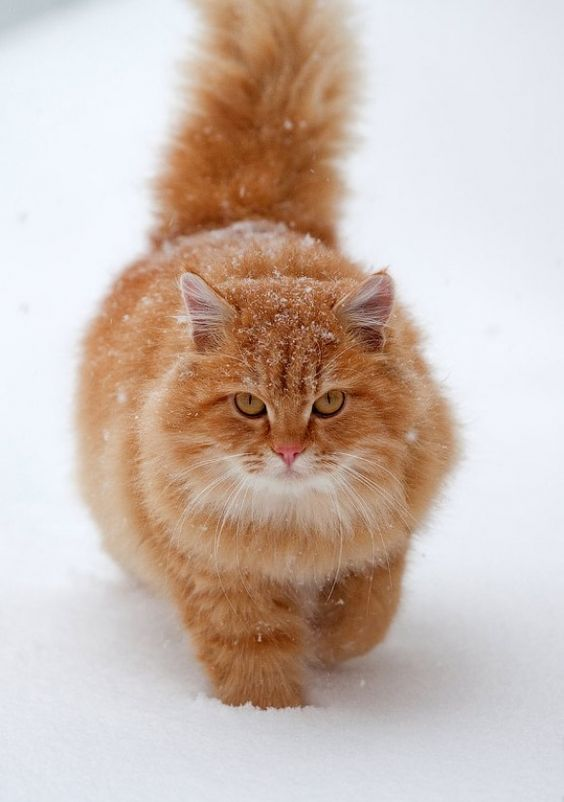 fluffy white and orange cats - photo #15