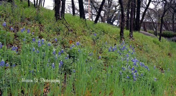 Some of the first Texas Bluebonnets of Spring in Glen Rose!