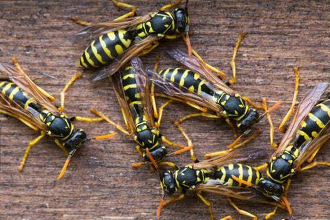 8 Einfache Hausmittel Die Garantiert Gegen Wespen Helfen Schadlinge Im Garten Wespe Hausmittel