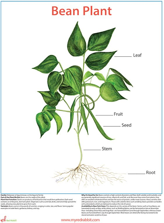 Health education, Bean plant and FFA on Pinterest