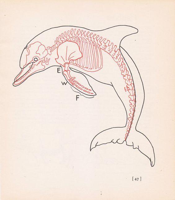 Dolphin skull anatomy