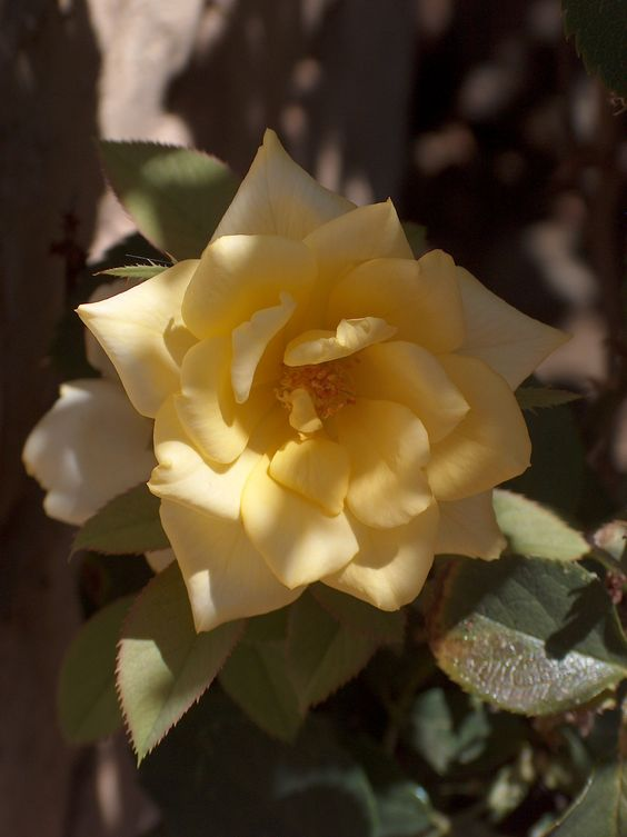 Mom's Yellow Roses