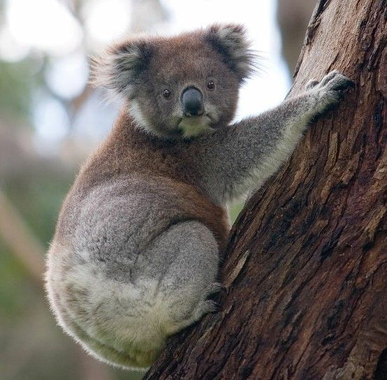 the cutest ... but was told that it was koala's snoring and NOT wild pigs making the racket.  Saw huge numbers near Halls Gap Youth Hostel