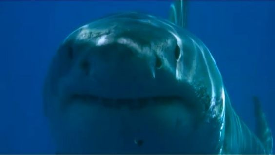 Blue Water, White Shark by Tom Walker. Short film to try and convey how it felt to dive with the Great White Sharks of Isla Guadalupe, Mexico (August, 2008).
