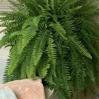 boston ferns ferns and plant care on pinterest. Black Bedroom Furniture Sets. Home Design Ideas