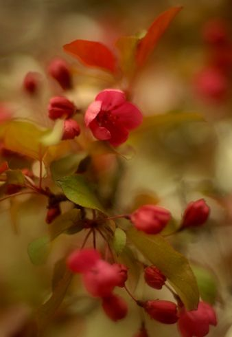 Apple blossoms by Myrna Jacobs