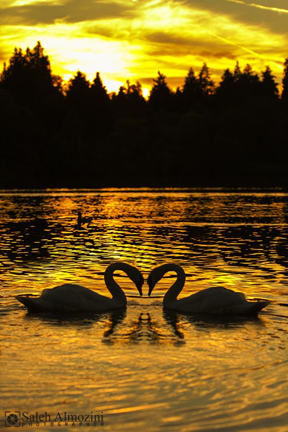 Swans, Heart and Photo heart on Pinterest