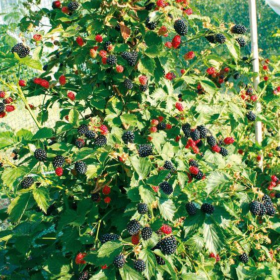 Blackberry Trees | Blackberry Plant - Navaho Bigandearly - Suttons