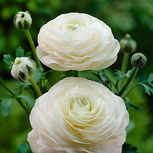 Check Out White Tecolote Ranunculus Bulbs From Terrain Bulb Flowers Flowers White Flowers