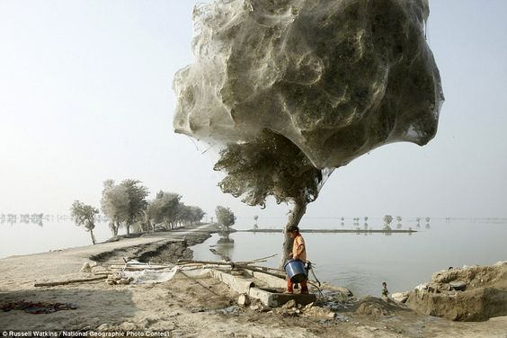 The spider tree: Millions of arachnids escape rising floodwater in one of 12 stunning photographs for National Geographic competition  Trees cocooned in spiders webs after flooding in Pakistan, 7 December 2010 - Russell Watkins 'An unexpected side-effect of the 2010 flooding in parts of Sindh, Pakistan, was that millions of spiders climbed up into the trees to escape the rising flood waters; because of the scale of the flooding and the fact that the water took so long to recede, many…