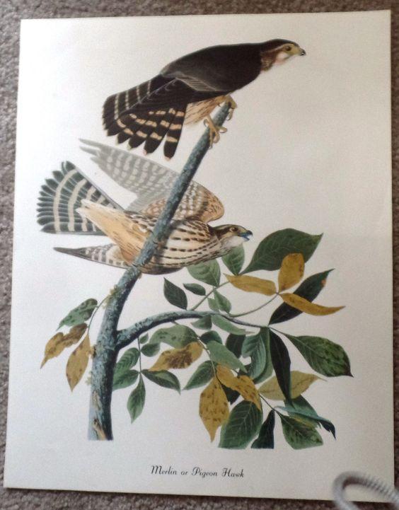 "Audubon Bird Print - """"PIGEON HAWK"""" - Lithograph - c1960"