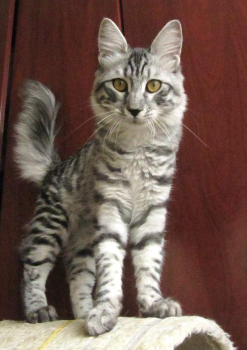 Sir Anamura Black Silver Mackerel Tabby Turkish Angora Silver Tabby Cat Tabby Cat Cat Oc