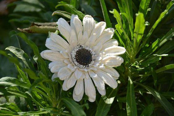 ATTENTION DERNIER JOUR Livraison OFFERTE et GARANTIE pour Noel Avec votre code BIENTOTNOEL http://www.artifleurs-fleurs-artificielles.com Pince Barrette Cheveux Grand fleuron GERBERA