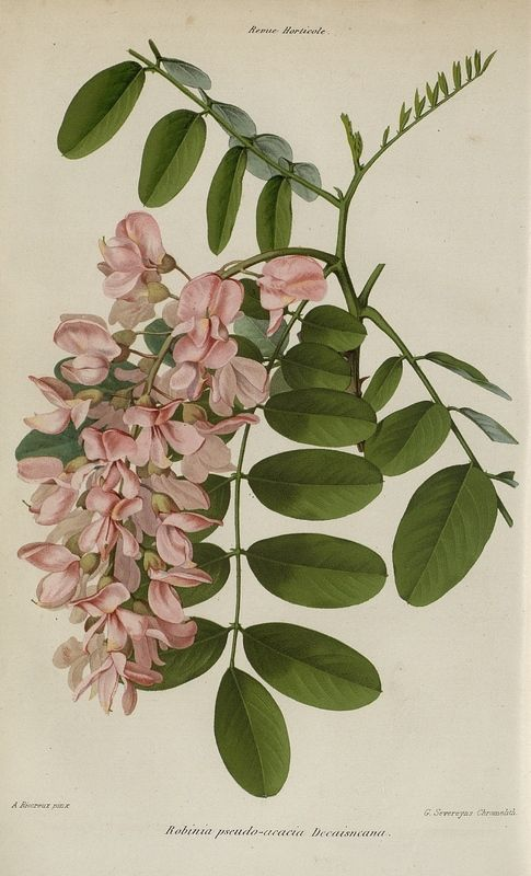 SNHF | Robinia pseudo-acacia Decaisneana