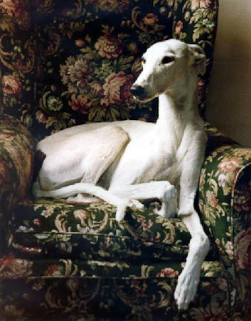 Greyhound in armchair