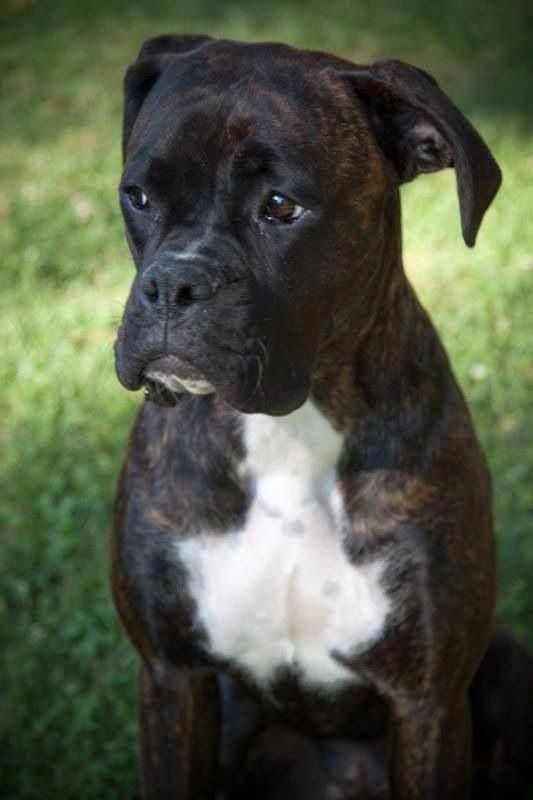 Find Out More On The Boxer Puppy Boxerdogsrock Boxerdogireland Boxerdogsfacts Boxer Dogs Boxer Puppies Boxer Breed