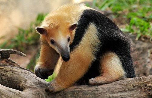 """Northern tanmandua Anteater. Anteater is a common name for the four mammal species of the suborder Vermilingua (meaning """"worm tongue"""") eats ants and termites."""