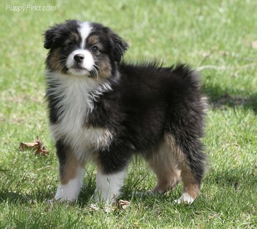 Miniature Australian Shepherd Pictures U3no7xkp540 Miniature