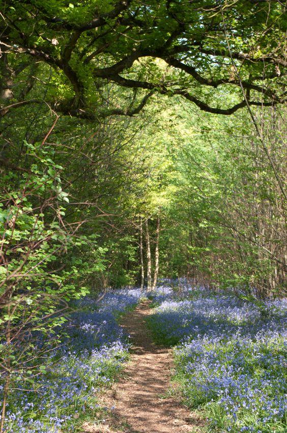 Blue bell forest, Kent, UK