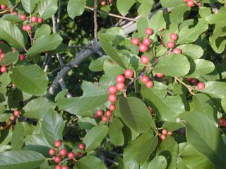 Carolina buckthorn small deciduous tree or shrub for Trees that stay small