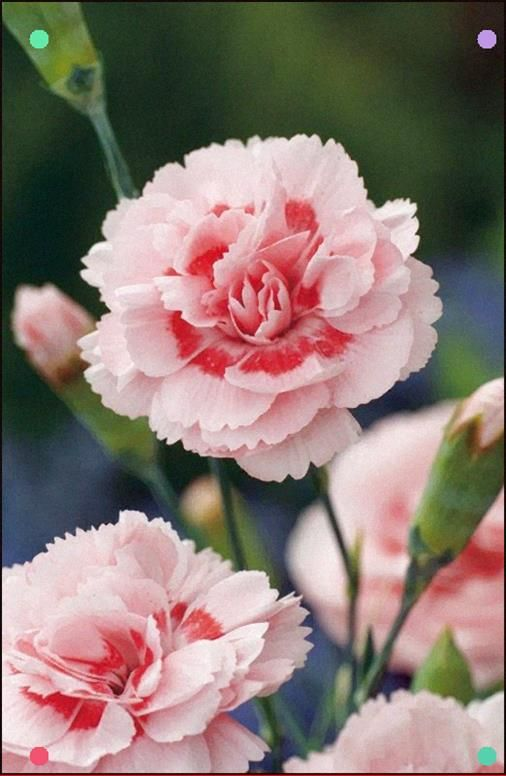 Pink Carnation Doris Uncredited Carnations Are One Of My Favorite Flowers For The Subtle Scent It Remin Carnation Flower Pink Carnations Growing Carnations