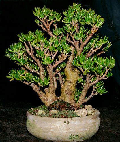 florapack kert szet d zs sok bonsai crassula ovata. Black Bedroom Furniture Sets. Home Design Ideas