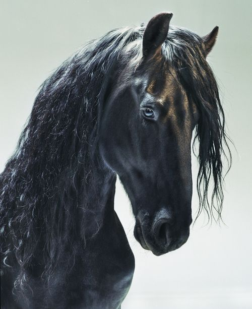 ☀Beautiful Friesian horse portrait. From Horses, by photographer Jill Greenberg.