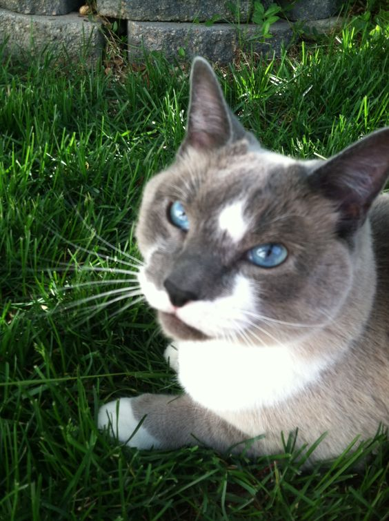 My rescue siamese mix cat. He's a luv