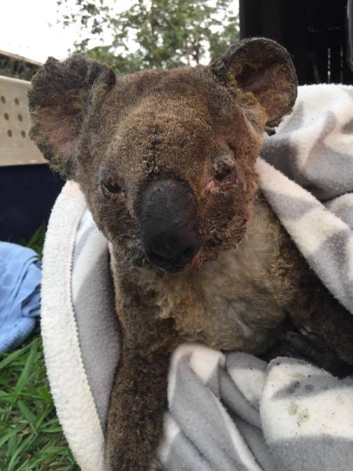 Badly Burnt Koala From Australia Fire Wishing Him Speedy Recovery Koala Australia In 2020 Australia Animals Koala Koala Bear