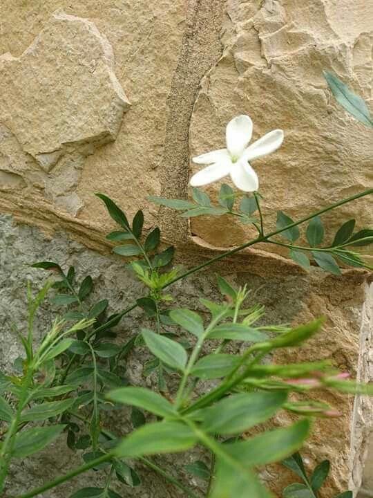 Pin On Jasmine