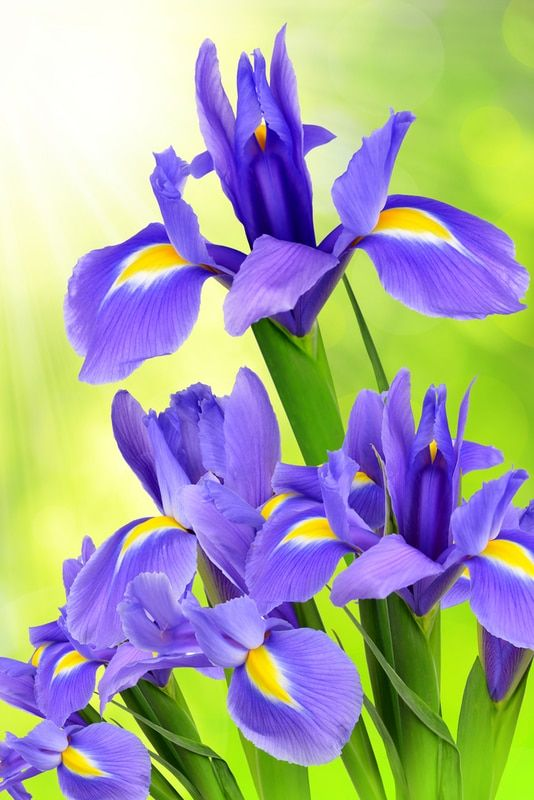 Dwarf Crested Iris 10 For 20 Look Pretty In The Understory Plant Near The Road And In The Porchstep Bed And Nea Iris Flowers Blue Iris Flowers Flower Names