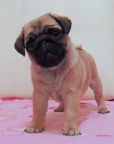 Cute Pug Puppy -- Bug looked like this when she was a puppy :)